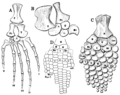 The Osteology of the Reptiles p193.png