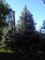 The blue spruces on Zheleznodorozhnaya st. July 2013. - Голубые ели на улице Железнодорожной. Июль 2013. - panoramio.jpg