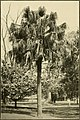The ornamental trees of Hawaii (1917) (14765620492).jpg