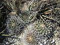 Thelocactus rinconensis (5729793504).jpg