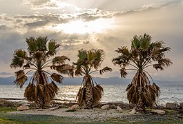 Three palm trees during the sunset, Ayia Marina Chrysochous, Paphos District, Cyprus 02.jpg