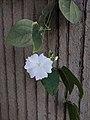 Thunbergia fragrans 20181022 124720.jpg