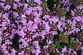 Thymus quinquecostatus in Mount Ibuki 2011-07-24.jpg