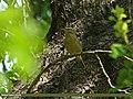 Tickell's Leaf Warbler (Phylloscopus affinis) (18329411423).jpg