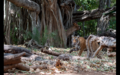Tiger in Ranthambore 40.png