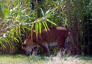 Tigon hybrid cross between a male tiger and a lioness