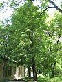 Tilia americana (Lviv, Ukraine).JPG