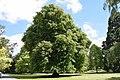 Tilia cordata in Christchurch Botanic Gardens 01.jpg