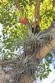 Tillandsia fasciculata (11122203075).jpg