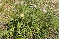 Tomato Plant 2 2013-07-01.jpg
