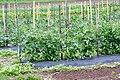 Tomato Support (5843173257).jpg