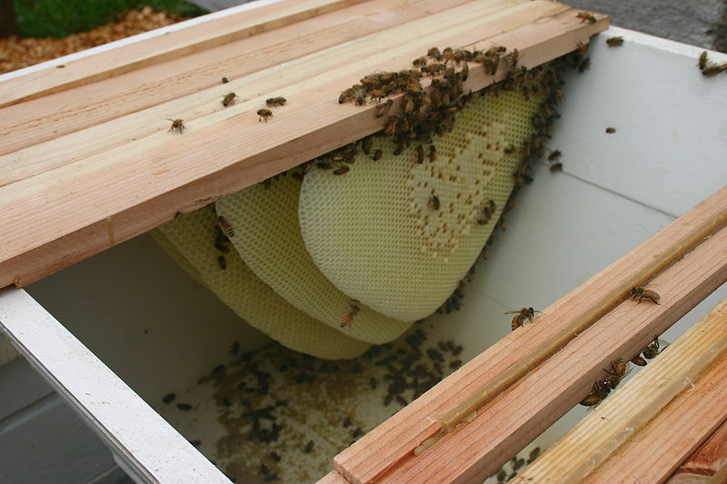 Merveilleux Bees In A Top Bar Hive (source: Scott D. Sullivan)