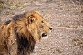 Tough Lion, Uganda (15232409559).jpg