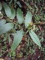 Tournefortia heyneana 61.JPG