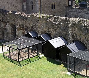 Ravens of the Tower of London - The ravens' aviary in 2004