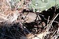 Toxostoma curvirostre en su nido.jpg