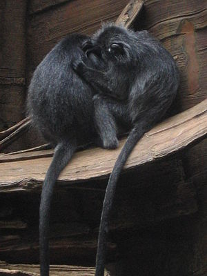 Silvery lutung - Silvery lutungs grooming