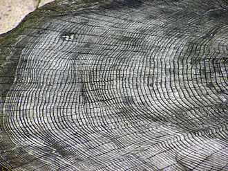 Absolute dating - The growth rings of a tree at Bristol Zoo, England. Each ring represents one year; the outside rings, near the bark, are the youngest.