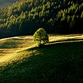 Tree ^ mountain - Flickr - Stiller Beobachter.jpg