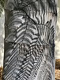Tree Fern Shadow on Palm Tree.jpg