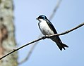 Tree Swallow (26777897260).jpg