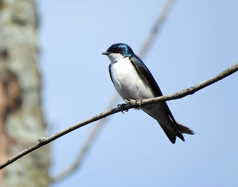 File:Tree Swallow (26777897260).jpg