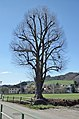 Tree at Loizenbach, Rabenstein an der Pielach 01.jpg