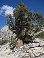 Tree on Lower Echo Lake trail (3072631196).jpg