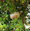 Treron calvus glaucus, in vyeboom, h, Pretoria.jpg