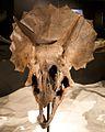 Triceratops skull frills.jpg