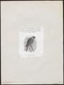 Trichoglossus forsteni - 1872 - Print - Iconographia Zoologica - Special Collections University of Amsterdam - UBA01 IZ18500225.tif