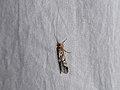 Trichoptera sp. (40140047995).jpg