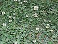 TrifoliumRepensFlowers2.jpg
