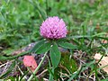 Trifolium pratense genus Trifolium.jpg