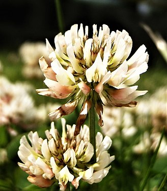 Trifolium repens flower close-up (2).jpg