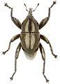 Trigonopterus tialeorum holotype - ZooKeys-280-001-g090.jpg
