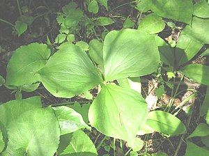 Sessility (botany) - The perennial wildflower Trillium cernuum possesses three leaves that are sessile at the top of the stem.