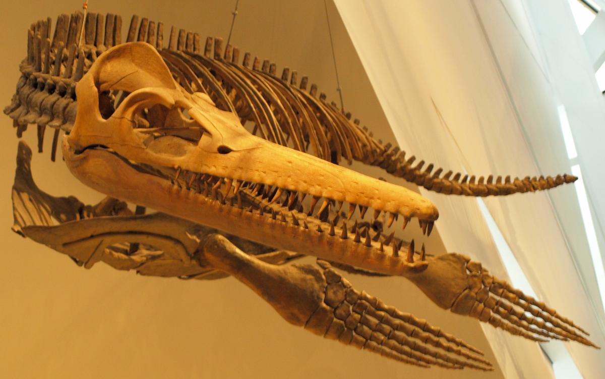 Trinacromerum - Wikipedia