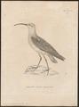 Tringa subarquata - 1700-1880 - Print - Iconographia Zoologica - Special Collections University of Amsterdam - UBA01 IZ17400263.tif