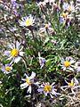 Tripolium pannonicum sl2.jpg
