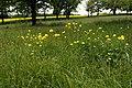Trollius europaeus in natural monument Kopacovska, spring 2013 (4).JPG