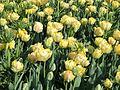 Tulips at Albany Festival6.jpg