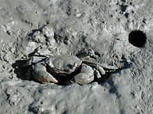 Tunnelling mud crab.jpg