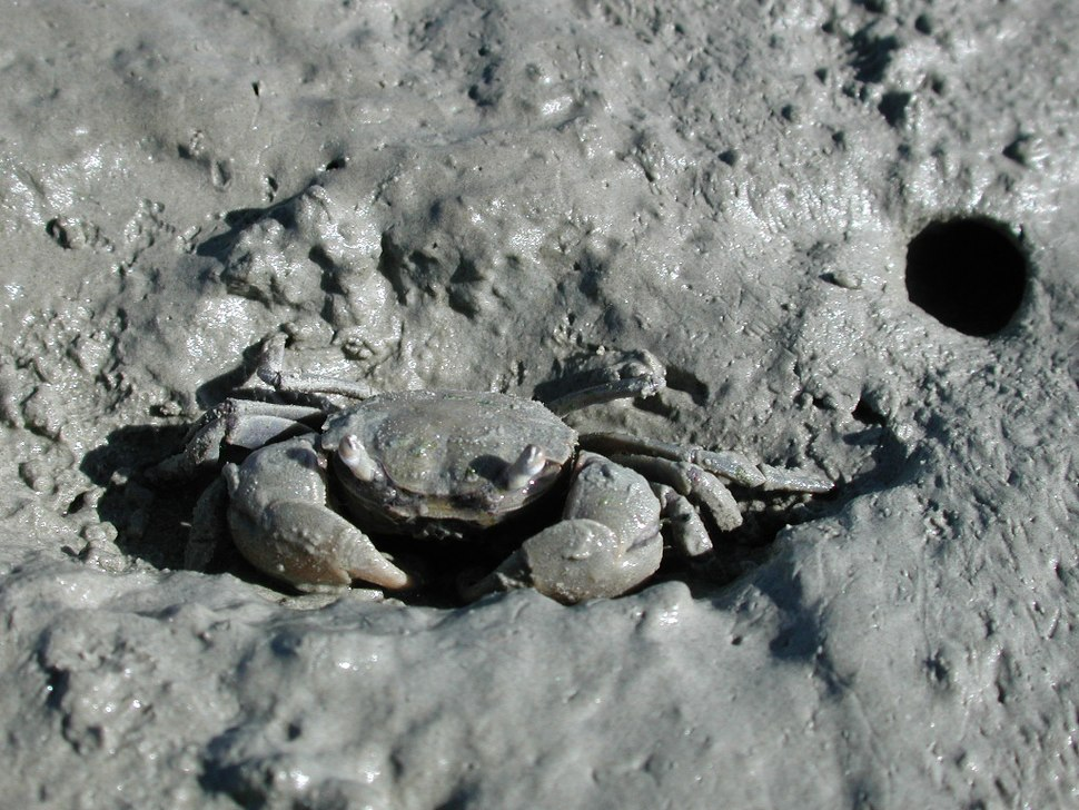 Tunnelling mud crab