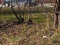 Turdus pilaris in Plantskoleområdet spring 2008-1.JPG