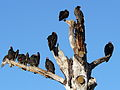 Turkey Vultures (Cathartes aura) Preflight Warmup.jpg