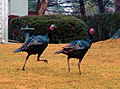 Turkeys running (cropped).jpg