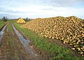 Turnips^ - geograph.org.uk - 404074.jpg