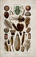 Twenty four anatomical segments of an insect. Colour wood en Wellcome V0022784EC.jpg