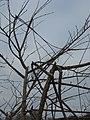 U. minor 'Dehesa de Amaniel' storm damage to branches.jpg